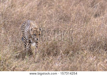 Adult cheetah fwalking through tall grass Masai Mara National Reserve Kenya East Africa