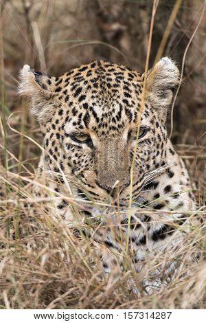 Leopard at Masai Mara National Reserve Kenya Eastern Africa