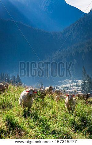Wonderful Grazing Herd Of Sheep At Dawn, Tatra Mountains