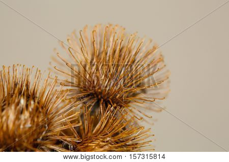 Macro photo of the Burdock Burs weed in fall.