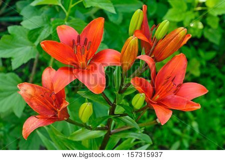 Beautiful red lily macro in summer day.