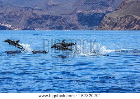 Dolphins jumping near the coast of a Isla Espiritu Santo in Baja California.