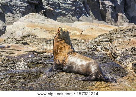 California sea lion male with mouth open, Zalophus californianus, on the rocks. Isla Coronado near Loreto in Baja California, Mexico.