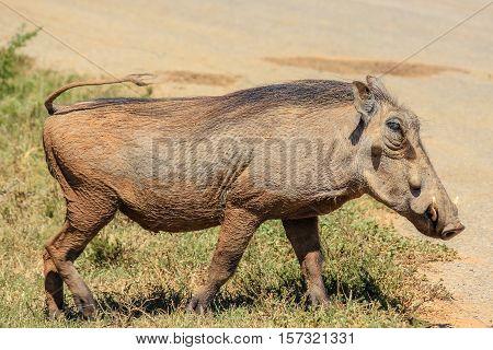 Warthog, Phacochoerus africanus, walking in savannah in South Africa.