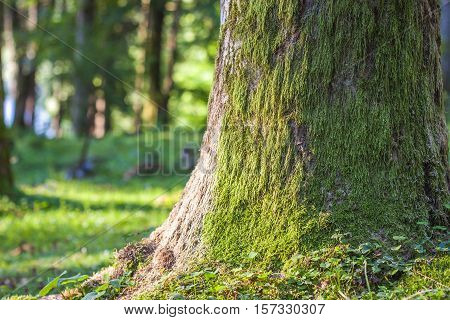 Stump with moss in the autumn forest. Old tree stump covered with moss in the coniferous forest beautiful landscape