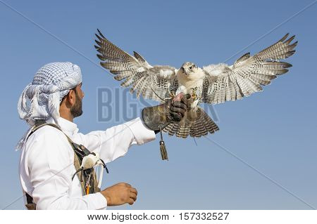 Dubai UAE November 19th 2016: A falconer in traditional outfit training a Peregrine Falcon (Falco Peregrinus)