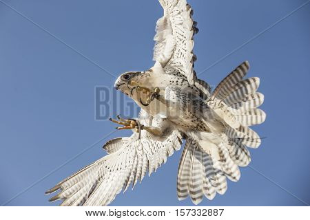 Peregrine Falcon (Falco Peregrinus) about to land