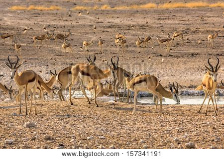 herd of african springboks in the pool in Namibian savannah of Etosha National Park, Namibia.
