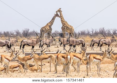 wild animals pyramid with giraffes springboks and oryxs in Namibian savannah of Etosha National Park in Namibia, Africa