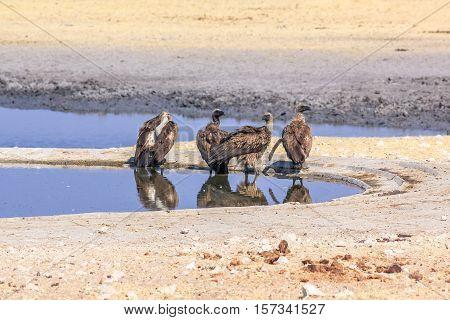 four vultures drinking at water pool in Namibian savannah of Etosha National Park, dry season in Namibia, Africa