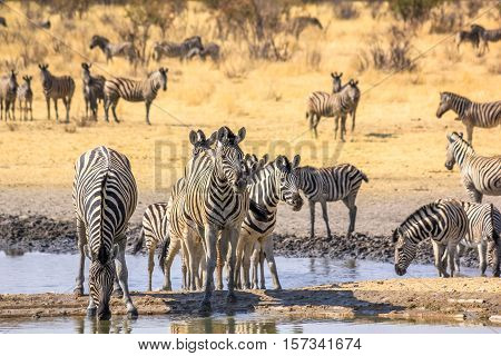 herd of african zebras reflecting in the pool in Namibian savannah of Etosha National Park, Namibia.