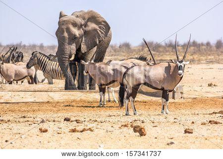 wildlife animals: zebras elephants oryxs at water pool in Namibian savannah of Etosha National Park, Namibia, Africa