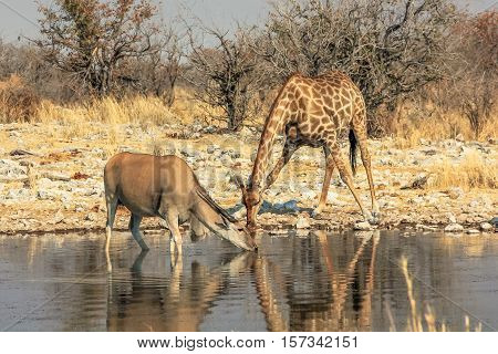 zebra and eland reflecting at pool in Namibian savannah of Etosha National Park, dry season in Namibia, Africa