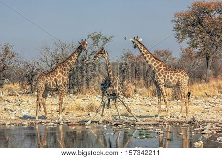 three giraffes standing at pool in Namibian savannah of Etosha National Park, dry season in Namibia, Africa