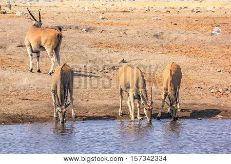 four wild elands drinking at pool in Namibian savannah of Etosha National Park, dry season in Namibia, Africa