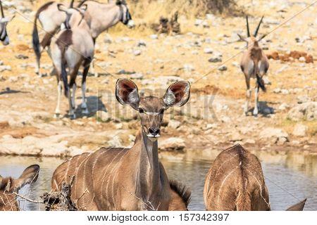 antelopes and oryxs at pool in Namibian savannah of Etosha National Park in Namibia, Africa