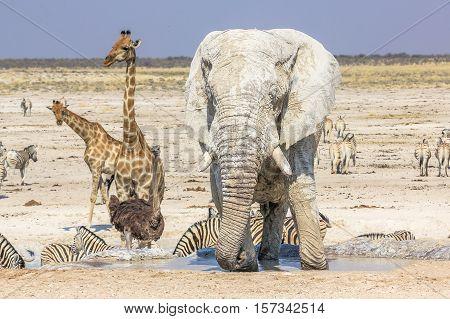 wild animals: zebras elephants giraffes ostriches springboks gemsboks gazelles warthogs drinking at pool in Namibian savannah of Etosha National Park, dry season in Namibia, Africa