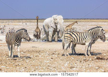 wild animals: zebras elephants giraffes drinking at pool in Namibian savannah of Etosha National Park, dry season in Namibia, Africa