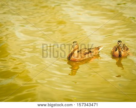 Wild duck on the water. Ducks swimming in the pond