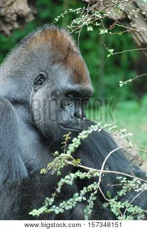 Great face of a silverback gorilla looking very solemn.