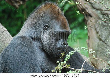 A very sad looking face of a silverback gorilla.