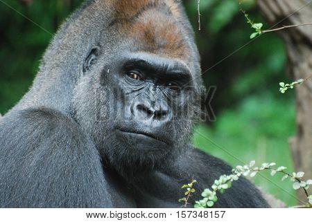 A silverback gorilla with a stare down.