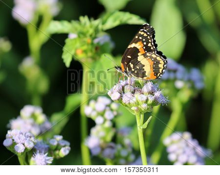 A Bordered Patch Butterfly on Blue Mistflowers