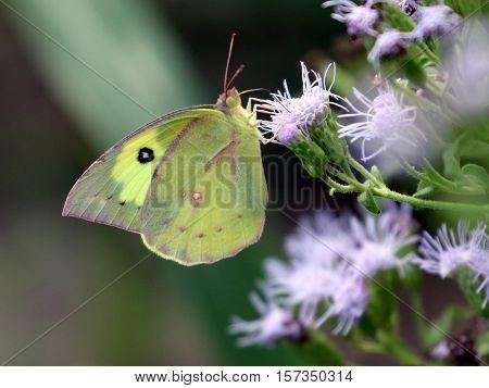 A Southern Dogface Butterfly (Zerene cesonia) on Blue Mistflower