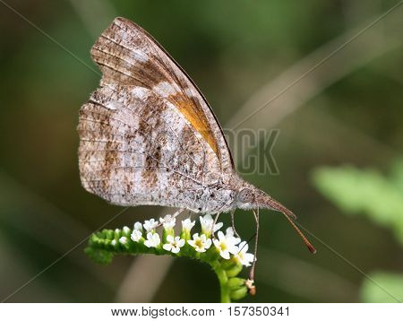 An American Snout butterfly (Libytheana carinenta) on Scorpion-tail flowers