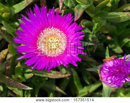 Stokesia laevis monotypic genus of flowering plants in the daisy family Asteraceae