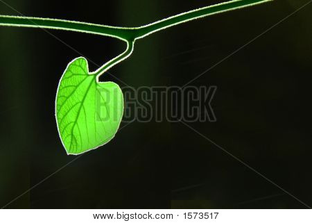 Green Leaf On Black