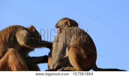 Monkey picking lice in Swayambhunath Kathmandu Nepal