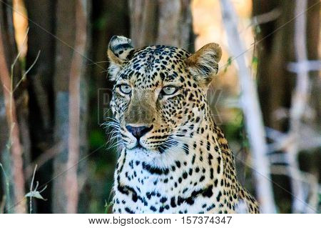 Wild animals of Africa in their environment: Leopard