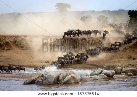 Wildebeest migration in herds in National Park tanzania