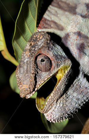 Angry Panther Chameleon (furcifer Pardalis)