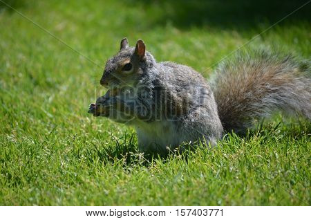 Adorable squirrel holiding a peanut in his paws.