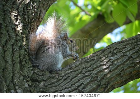 Gorgeous face of a grey squirrel sitting in a tree.