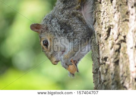 Grey squirrel hanging out eating a peanut.