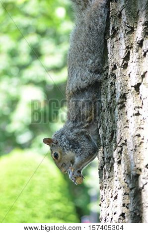 Squirrel climbing down a tree all stretched out eating a nut.