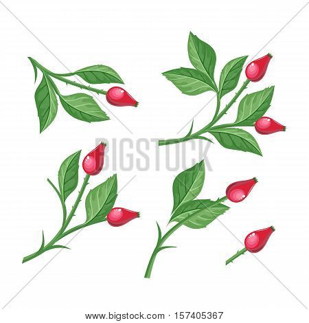 Wild rose hip with berries isolated on white background. Briar twig. Dog rose berries. Stylized branch of red berries. Can be used for greeting card design. Winter season holidays. Vector