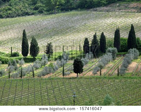 Tuscan landscape with vineyards olive trees and cypresses