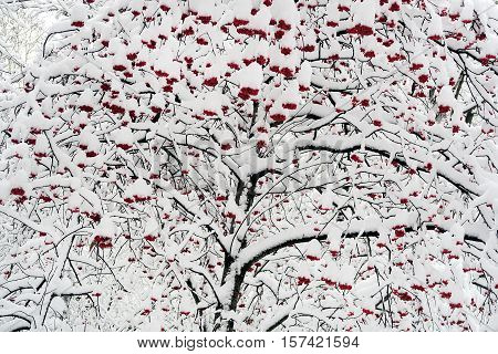 Rowan Berries in the Snow on the Mountain Ash
