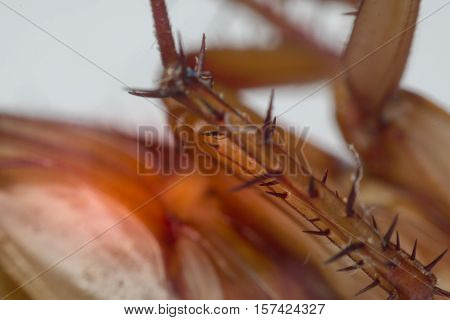 Macro Of Cockroach Insects Of The Order Blattodea