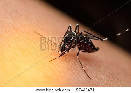Macro Of Mosquito Sucking Blood