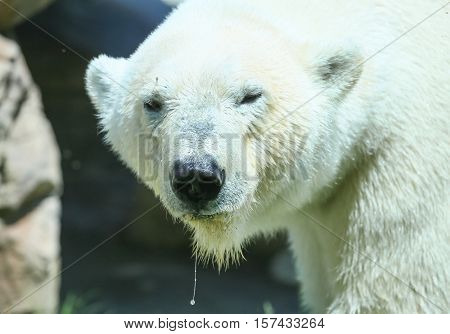 SAN DIEGO, USA - MAY 29, 2015: Close-up of a polar bear looking into the camera with water dripping from its snout in the San Diego Zoo.
