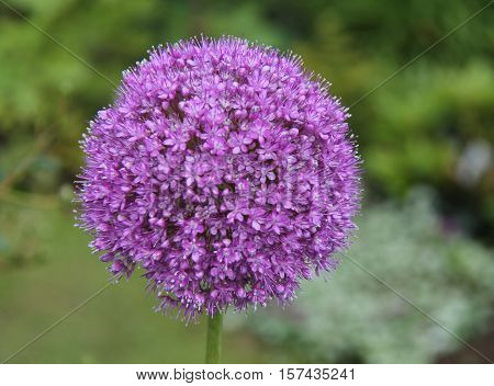 The Beautiful Flower Head of a Purple Alium Plant.