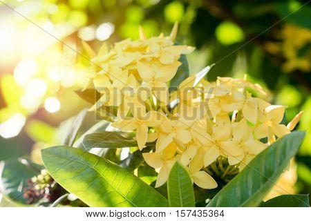 Ixora Flower.yellow Spike Flower. King Ixora Blooming