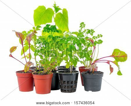 setting of young seedling of fresh green vegetable plant in flower pots isolated on white background close up