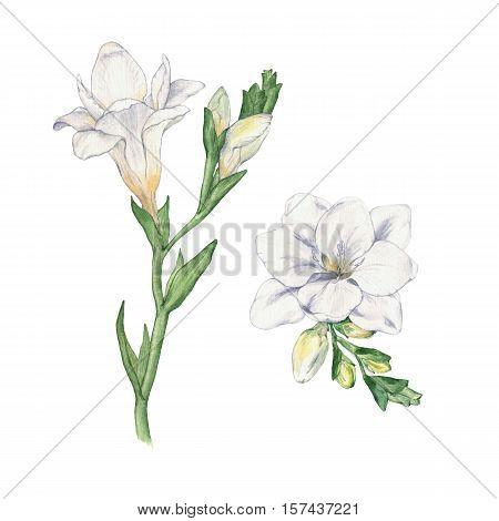Set Freesia. Flowers. Watercolor handmade drawing. 2