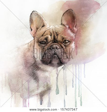 Illustration of the French Bulldog. Dog is man's best friend. Watercolor Animal collection: Dogs. Watercolor Dog Pug Portrait - Hand Painted Illustration of Pets. Good for banner print T-shirt.